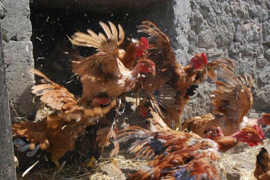 Envol de poulettes vers l'exterieur