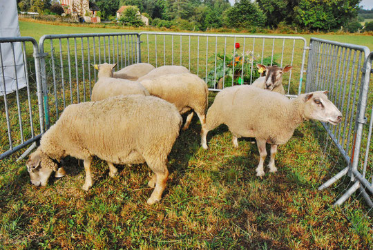 Moutons de Greorges PEUCH
