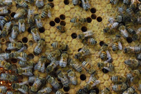 Abeilles jacques pair site de xaintrie passions - Qu est ce qui fait fuir les abeilles ...