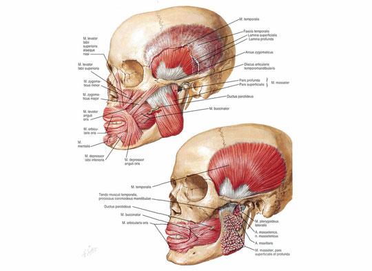 Muscoli mimici