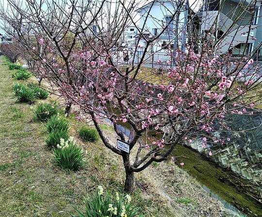 咲き出した紅梅の花・・。(2/21)