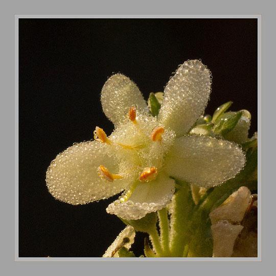Späte Blüten einer Königskerze