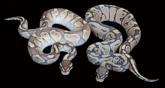 Butter het Ghost & Orange Ghost
