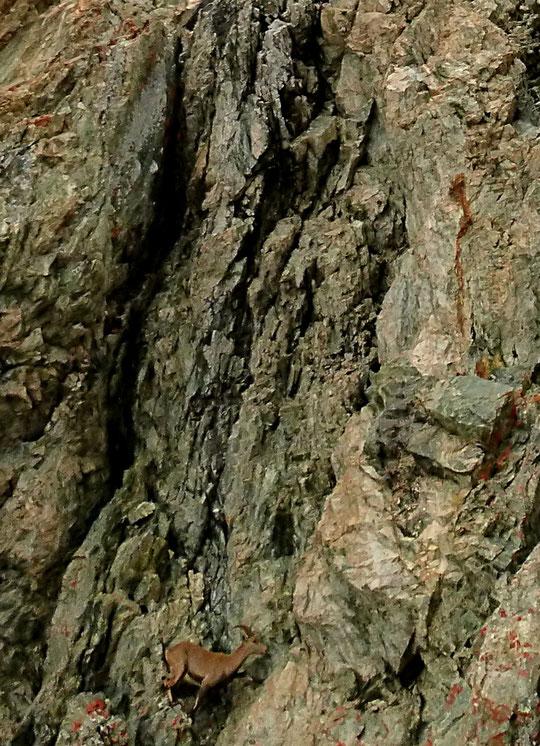 Incroyable rencontre avec un bouquetin sur un itinéraire de 900m de hauteur coté TD+ ! (agrandissement de la photo de Julien Desecures, guide)