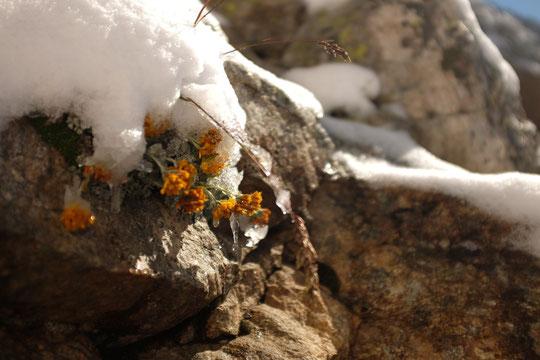 Bientôt l'automne pour les rares fleurs du Promontoire ! Photo de lundi dernier. On peut difficillement mettre une photo de ce matin on est dans le brouillard.