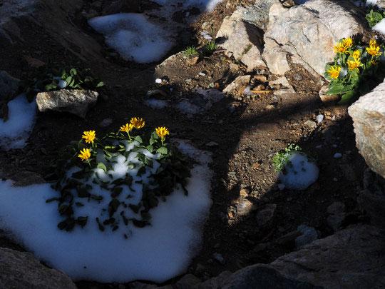 A 3100m il y a de gigantesques  montagnes de granit, de la neige, de la glace et.... des fleurs ! (ici hier matin juste à coté du refuge).