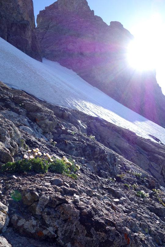 """Photo de la Renoncule des glaciers, prise hier aux abords du Glacier Carré (3600m)."""" La Meije est un jardin suspendu"""" selon Cédric (bonaniste au Parc National des Ecrins)."""
