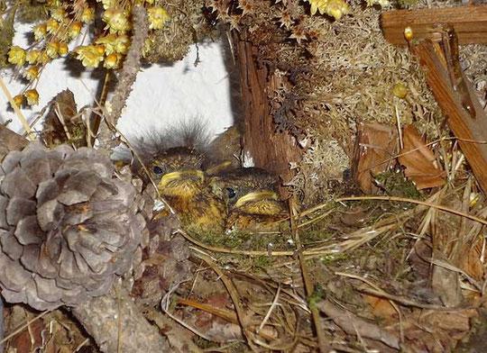 Rotkehlchen-Babys ca. 10 Tage alt