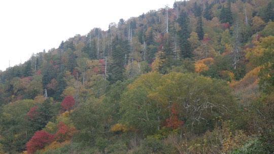 中腹の紅葉・黄葉 針・広混交林なので、針葉樹とのコントラストがきれい。もう少しでピークになると思われる。