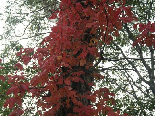 別のツタウルシの紅葉