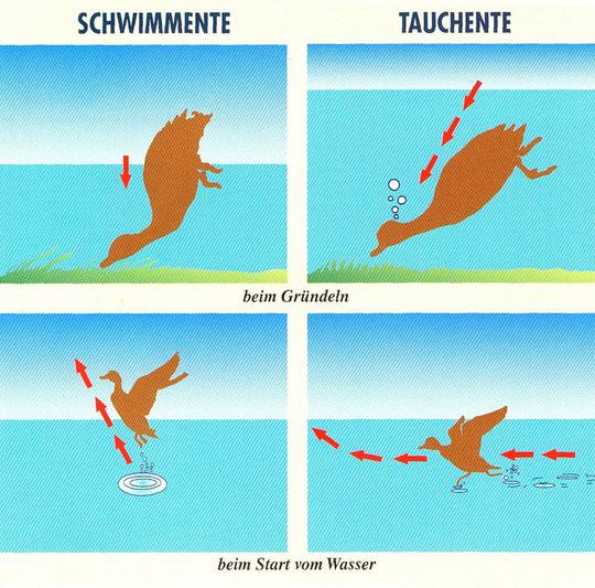 Schwimm- und Tauchenten