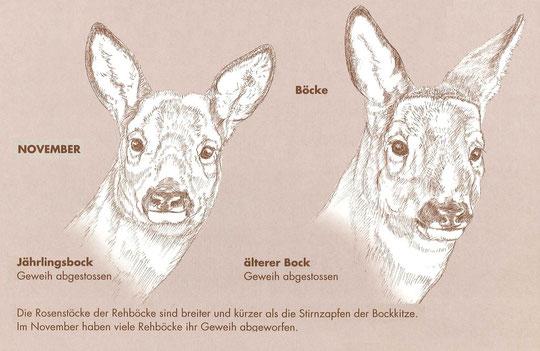 Die rosenstöcke der Rehböcke sind breiter und kürzer als die Stirnzapfen der Bockkitze.