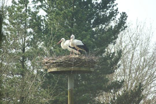 Das Storchenpaar verlor auf Nest 16 und Wechselte am 04.04.09 zum Nest 27