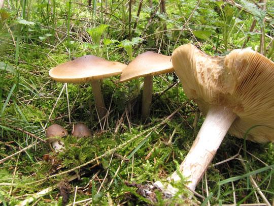 Frühlings-Weichritterling ,Melanoleuca cognata , Pilze im März ,Lauenberg , Dassel