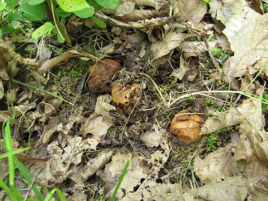 Schleimtrüffel , Melanogaster , Trüffel,