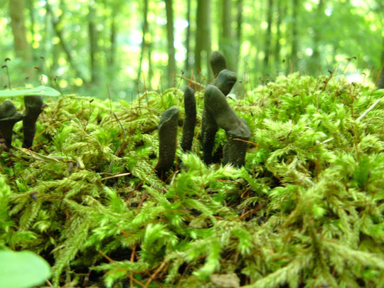 Vielgestaltige Holzkeule  Xylaria polymorpha   kein Speisepilz