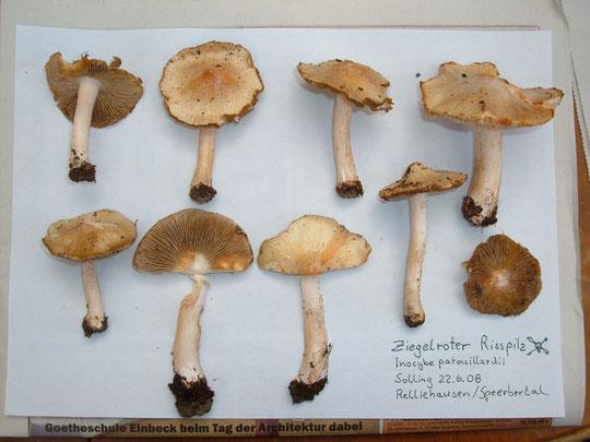 Studium der Sammelobjekte Zuhause Doppelgänger des Ziegelroten Risspilzes ist der gern gesuchte Mai-Pilz !!