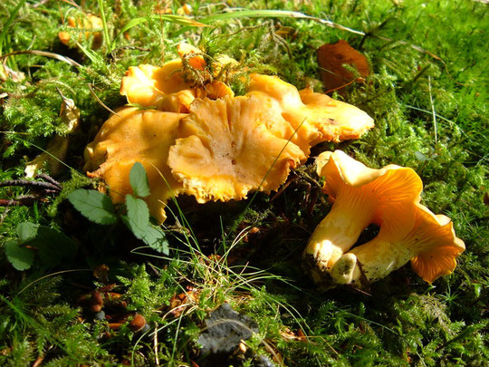 Cantharellus cibarius bei Pilzfinders Jimdo Page