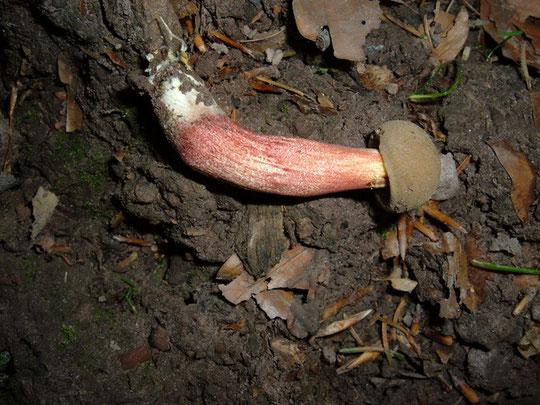 Echter Rotfuß Röhrling Xerocomus porosporus    Speisepilz