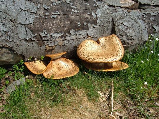 Polyporus, Schuppiger Porling, Volksen, Einbeck ,Pilzberatung,Pilze, Pilze sammeln