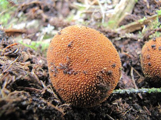 Stachelige Hirschtrüffel ,Elaphomyces muricatus , Hirschtrüffel, Trüffel, Nadelwald, Hirschbrunst, Günther Schier Hypogäensuche