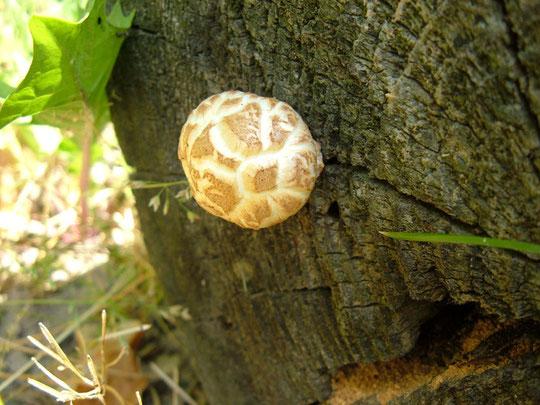 gern wächst der Pilz an verbautem Nadelholz