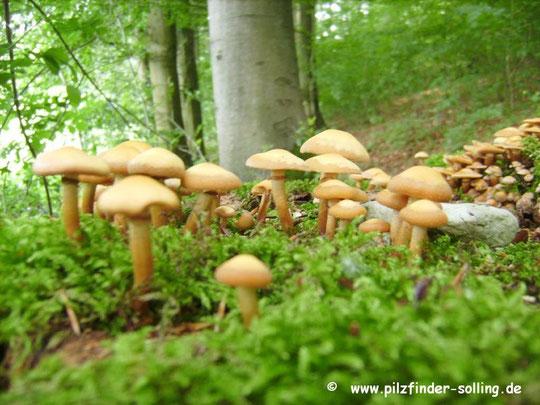 Stockschwämchen,Kuehneromyces mutabilis , Stubben, Pilze , Pilzberatung,