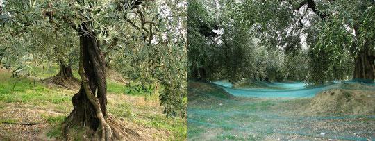 Sous les oliviers les filets pour la cueille