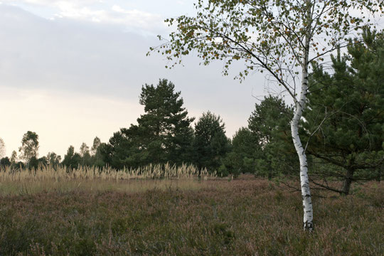 Heidelandschaft mit Birke und Kiefern © GriseldaK 2016