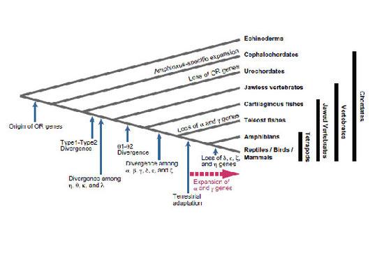 図5.脊索類におけるOR遺伝子ファミリーの変遷過程