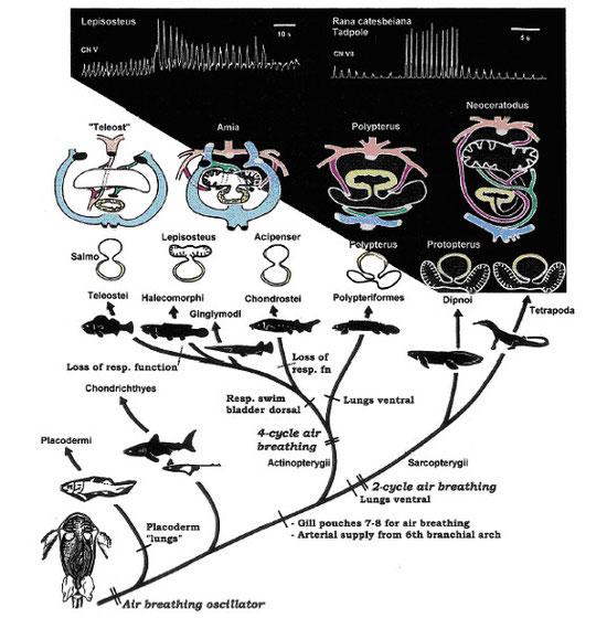 図3.空気呼吸の機能(イタリック)と器官(太字)の進化