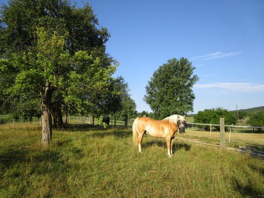 Die Pferde am 08.08.2015, 07.00 Uhr auf Weide Nr. 5