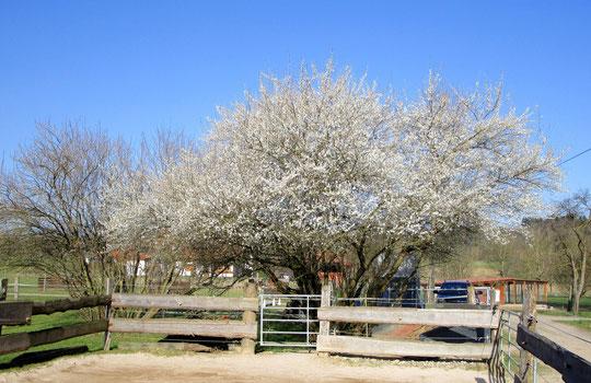 Frühling auf der Pfinzgauranch - unser Marillenbaum blüht! :-)