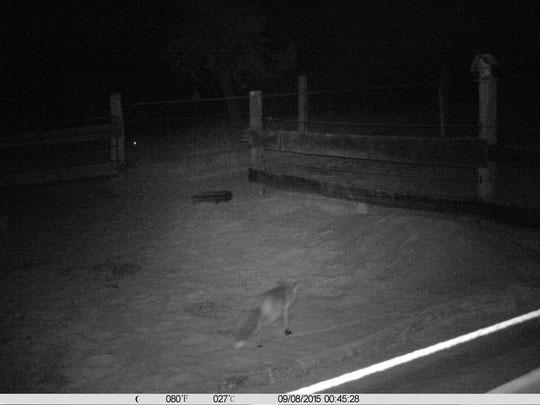 Jetzt hat ihn die Wildbeobachtungskamera mal gut erwischt: der Fuchs! ;-)