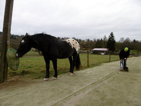 Kurti am zweiten Heunetz auf dem Trailweg, Gerret beim Abmisten
