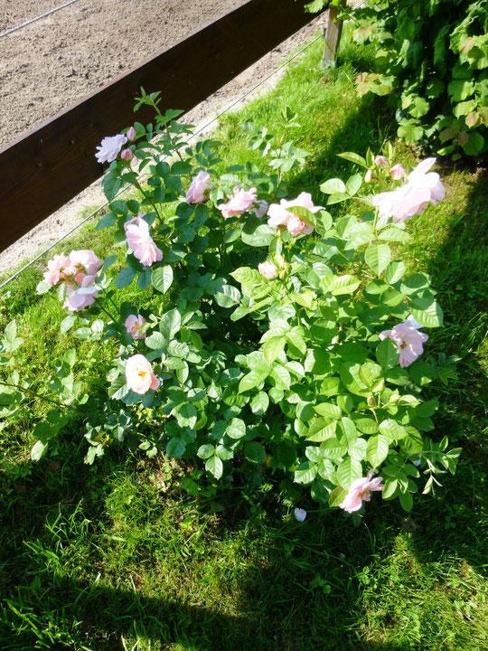 Meine Rosen blühen :-)