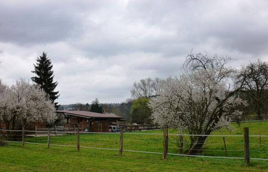 Der Stall, von der Reitwiese aus fotografiert. Die Mariellenbäume blühen!