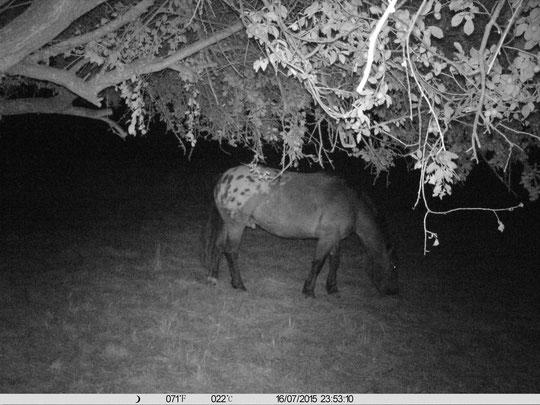 Kurti am 16.07.2015, 23.53 Uhr auf Weide Nr. 2, die noch nicht gemulcht wurde, weshalb die Pferde sie nachts noch nutzen können