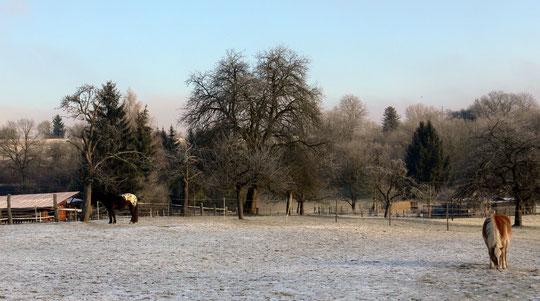 Die Pferde auf der Winterweide