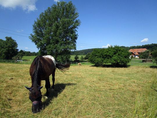 Auf der Weide: schattenspendendes Marillengebüsch - das Kurti auch gerne anknabbert ;-)