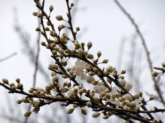 Die ersten Frühlingsboten :-) - unser Mirabellenbaum am Stall