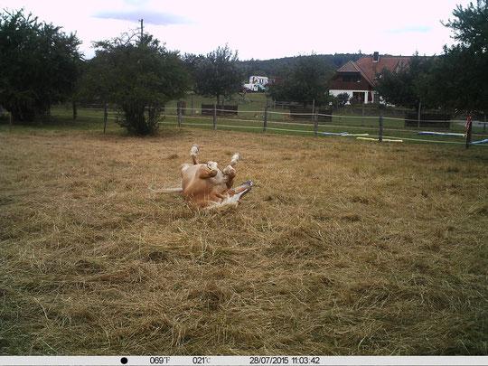 Amormäßige Pferdewellness bei angenehmen 21° auf der Weide :-)