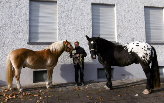 Mitten im Karlsruher Stadtteil Grötzingen - zwei coole Ponys warten auf den Tierarzt :-)