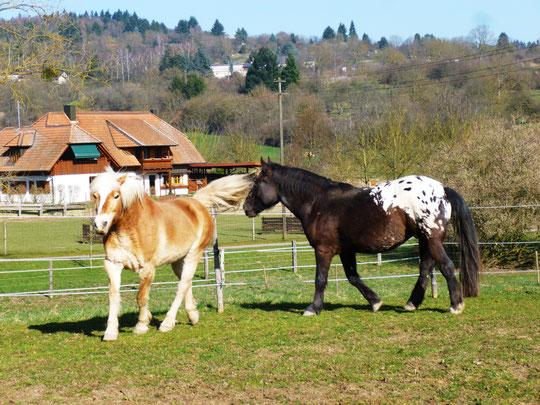 Zwei muntere Pferdchen