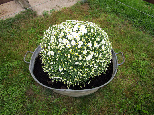Chrysanthemen für Timmi