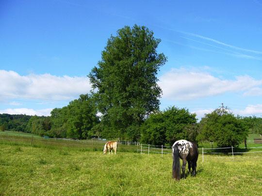 Der Tag nach dem Hochwasser: blauer Himmel und glückliche Pferde auf der allerdings noch nassen Weide