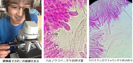 きのこ顕微鏡観察
