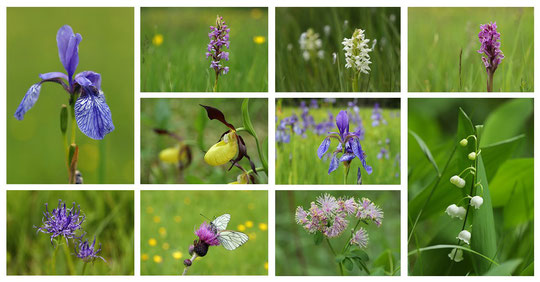 An overview of the impressive floral diversity of the wet meadow (click to enlarge).