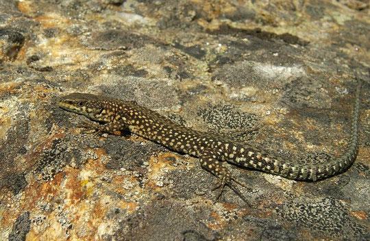 Guadarrama Wall Lizard (Podarcis guadarramae), Galicia, Spain, May 2012