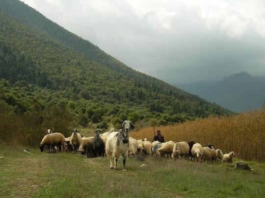 Een schaapsherder met zijn kudde trekt door de mistige vallei.